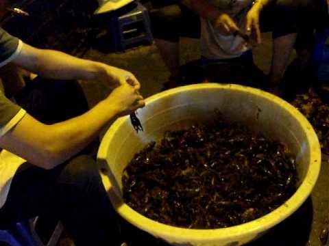 Peeling LIVE lobsters
