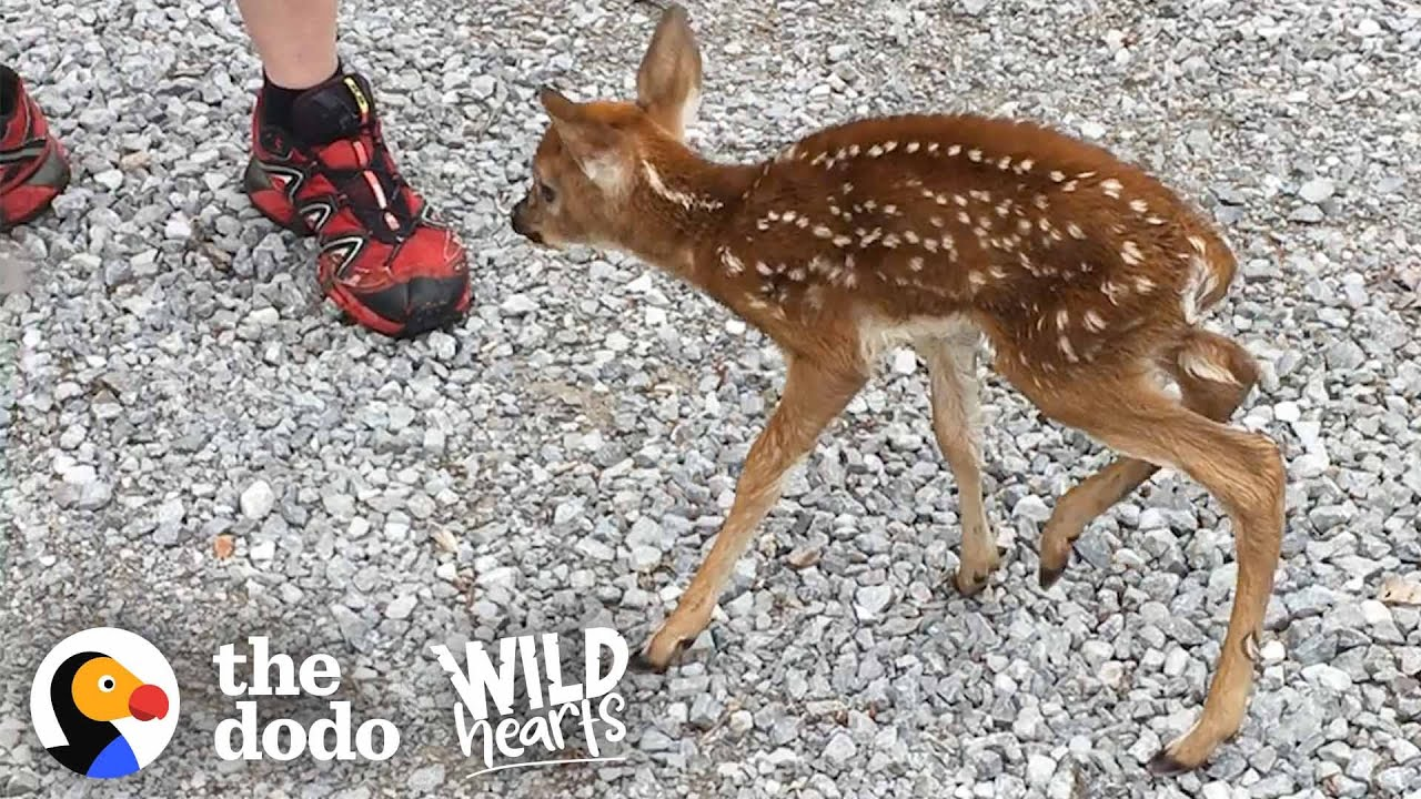 Tiny Baby Deer Asks People to Rescue Her | The Dodo Wild Hearts