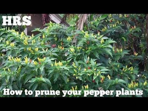 How to prune your pepper plants, Carolina reaper, Fatalii, Ghost pepper, Trinidad scorpion,