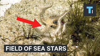 This field of sea stars is actually a death trap that scientists never saw coming