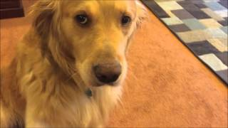 Dog Vlog - A day in the life of a Golden Retriever