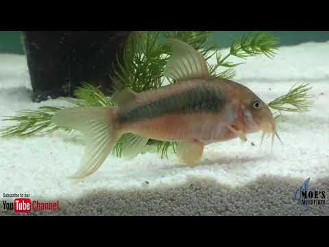 How to Breed Corydoras