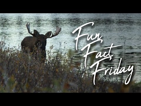 Fun Fact Friday: Dave Reisner Arrows a Monster Manitoba Moose