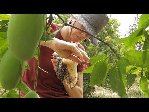 How to keep dwarf honey bee | How to keep apis florea