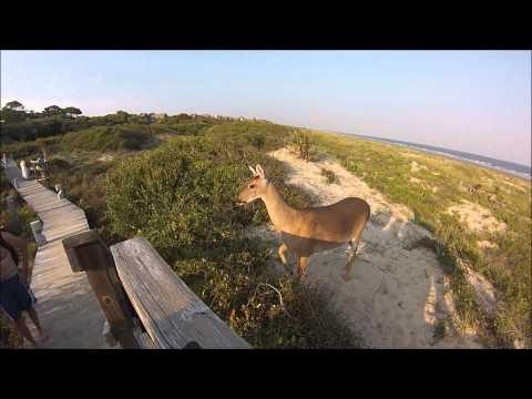 Friendly Deers @ Kiawah Island, SC 2014  HD GoPro Hero 3 SE