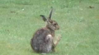 The  Brown Hare and the Rabbit