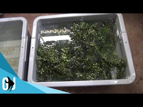 #514: Axolotl Eggs Hatching - Update Monday