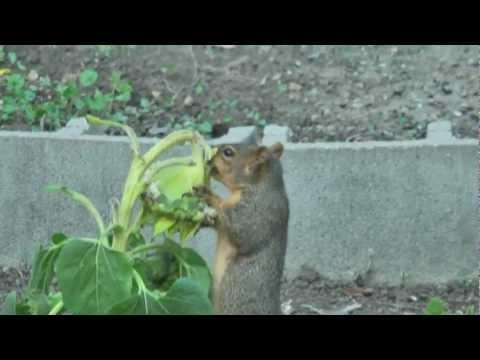 Squirrel Stealing A Sunflower