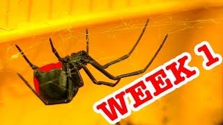 Download Rrdback Spider Pets Terrarium Week 1 Spider Study & Critters Added Video