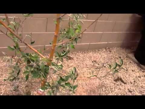 Az apple tree pruning