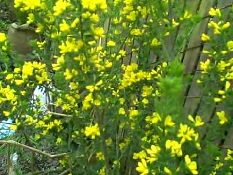 tincture dye plants uses