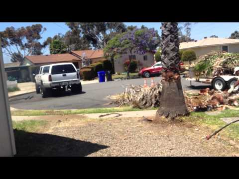 GMC Dually Pulls 45foot Palm Tree Roots and ALL!!!
