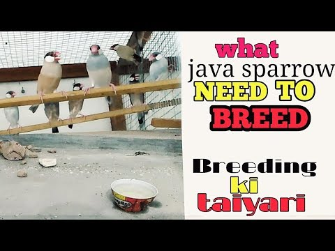 Java sparrow colony breeding - essential things that needed for colony breeding of java