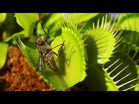 Venus fly trap catching flies (slow motion)