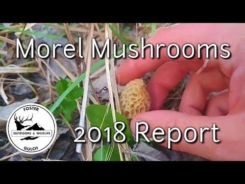 Morel Mushroom Report 2018