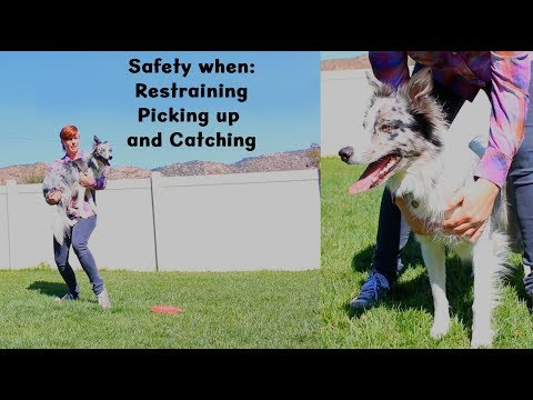 Safety tips for restraining, picking up and catching a dog - Dog training