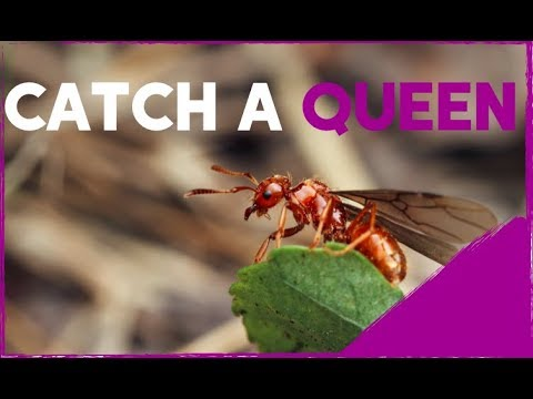 Ants International How To Catch A Queen Ant!