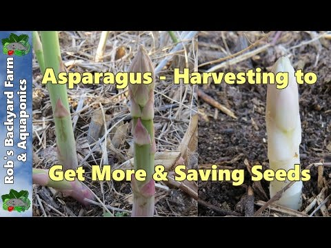 Harvesting asparagus, getting more from your plants & saving seeds..