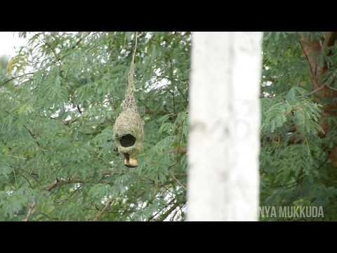 Weaver Bird - Bird videos