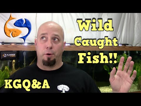 Keeping Wild Caught Fish and using COLD Water for Water Changes!! KGQandA