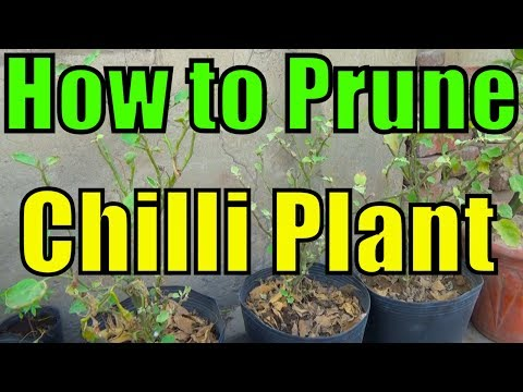 How Do i Prune Chilli Plants | Pruning Is A Technique for High Production