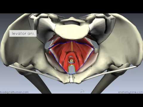 Pelvic Floor Part 1 - The Pelvic Diaphragm - 3D Anatomy Tutorial