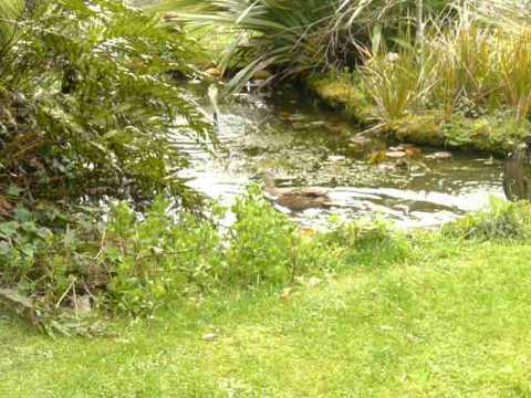 WILD DUCKS SWIMMING IN BACKYARD POND TARANAKI NEW ZEALAND