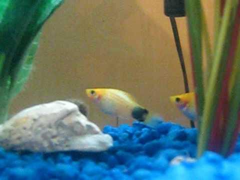 platy fish bottom of tank