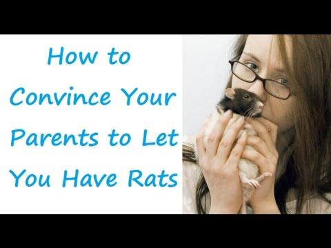 Pet Rats: How to Convince Your Parents