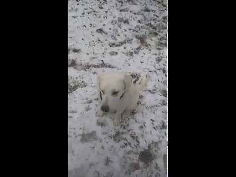 Kendrick a SDWR service dog in training loves the snow!