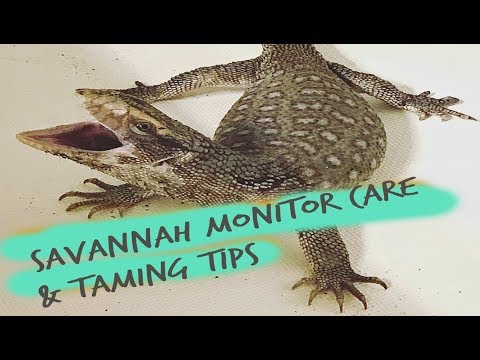 Savannah monitor care and taming tips