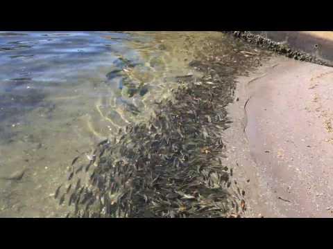 Crevalle Jack Hunting Pinfish