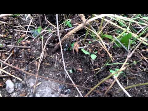 Bumblebee Removal from Ground Nest