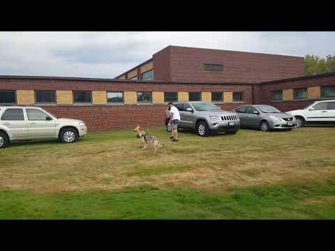 2017.09.17 - UKC Nose Work - Elite Vehicles - Trial 2 - Harley Quinn