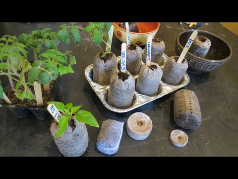 How to Use Peat Pellets for Tomato Transplants: And Peppers Too!