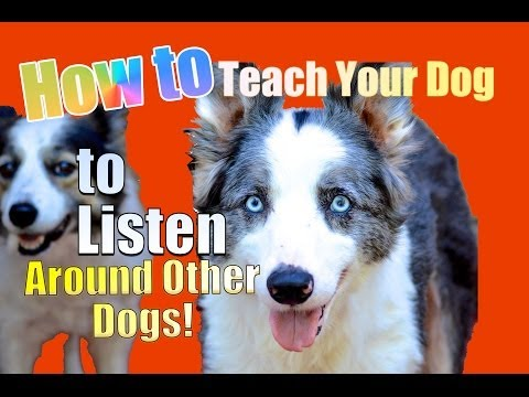 How to Teach your Dog to Listen TO YOU Around other Dogs!