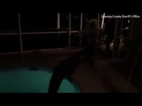 Only in Florida Police catch 11 foot alligator in swimming pool