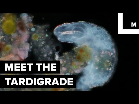 Meet the Tardigrade...the World's Most 'Indestructible' Animal