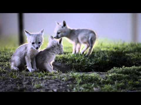 San Joaquin Kit Fox & the D4
