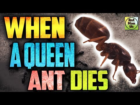 What Happens IF A Queen Ant Dies? - Queen Ant Colony Survival
