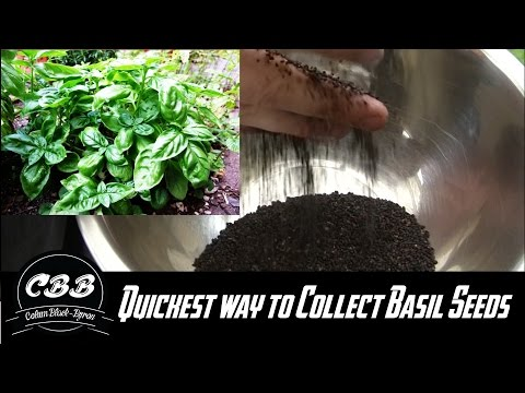 The quickest way to collect Basil Seeds