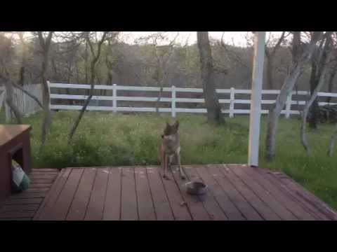 Coyote on Back Porch