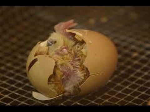 Baby Chicks Hatching