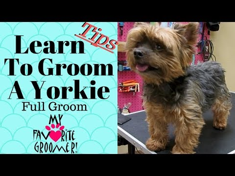 Learn to groom a Yorkshire Terrier