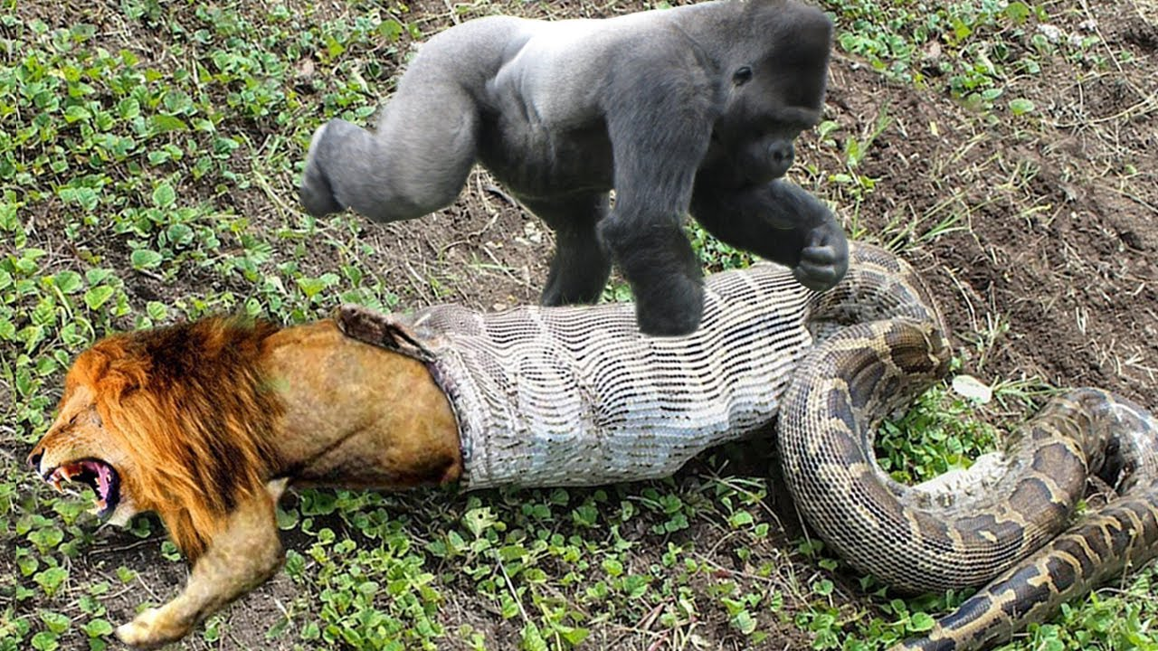 Lion Mistakes When Challenged Python – Gorilla Save Deer From Anaconda Hunting, Buffalo vs Wild Dogs