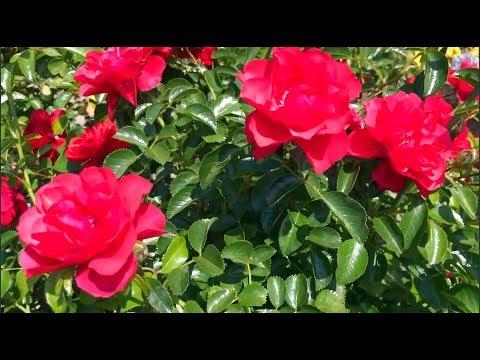 UPDATE ON VEGGIE AND FLOWER GARDEN