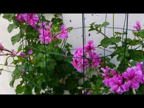How to grow Geranium Plant - Climbing Geranium - Big advice