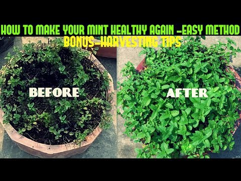 HOW TO MAKE YOUR MINT HEALTHY AGAIN -FAST N EASY