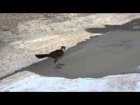 Real Beakless Bird takes a drink!