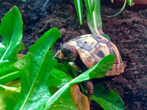 Charlie the Baby Hermann's Tortoise Eating